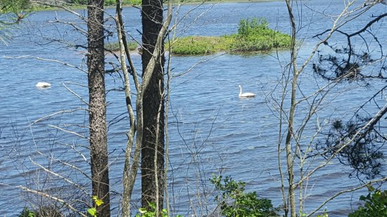 Seney, MI: swans