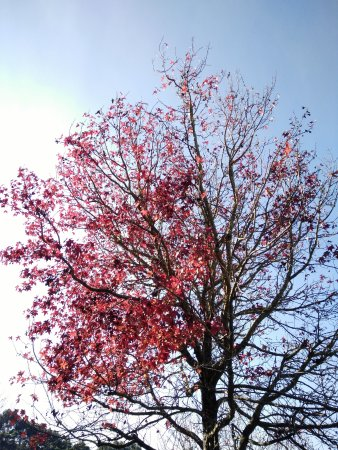 Arthurs Seat, Australia: red maple leaves