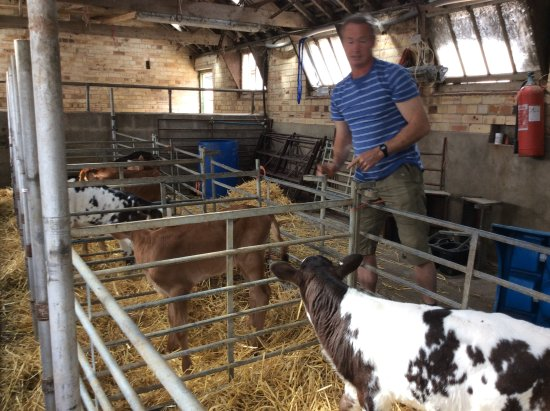 Stocksfield, UK: Meeting the calves.