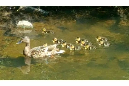Little Sugar Creek Greenway: Baby ducks with their momma on Little Sugar Trail