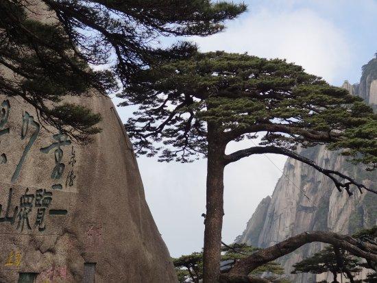 Jiuhua Mountain: l'arbre symbole