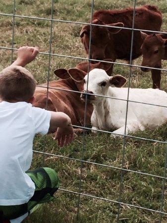 Dublin, เท็กซัส: my son meeting some of the herd