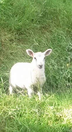 Oakamoor, UK: this sheep was waiting for us after breakfast