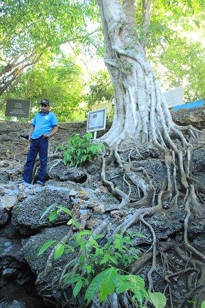 Morotai, Ινδονησία: Akar Pohon Rindang yang menaungi Air Kaca