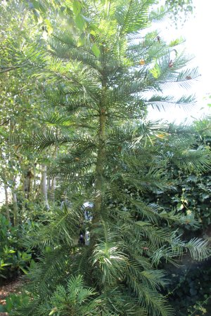 Evandale, Australia: Wolami pine in the gardens.