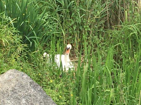 Woluwe-St-Pierre, بلجيكا: Breeding Swan - Woluwe Parc