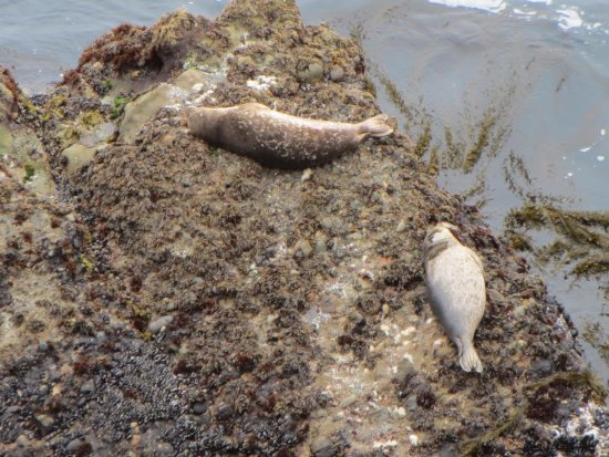 Point Lobos State Reserve: yes they are alive.... they are just laying on the rocks at point lobos.