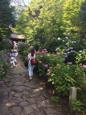 Kota-cho, Japón: 紫陽花 ほんとにきれいです