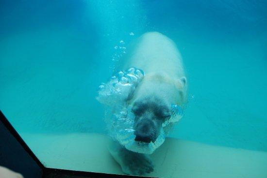 North Carolina Zoo: Nikita Swimming