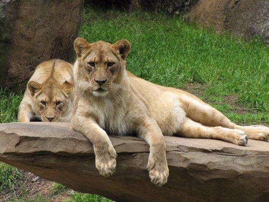 North Carolina Zoo: Respect the Lions
