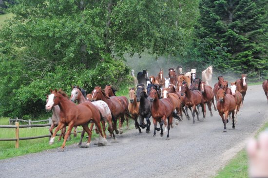 Harrison, ID: Running of the horses from the pasture to the pens