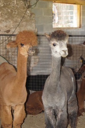 Bloomfield, NY: Two of the female Alpacas