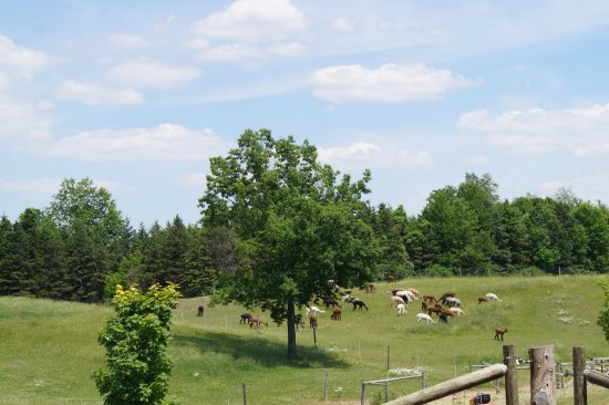 Bloomfield, estado de Nueva York: Females grazing in the fields