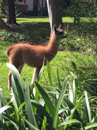 Hacienda Cusin: baby llama in the monastery grounds