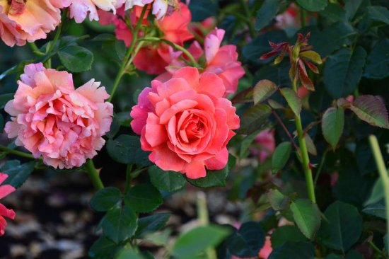 Peninsula Park and Rose Gardens: Peninsular Park Rose Garden - June 2016