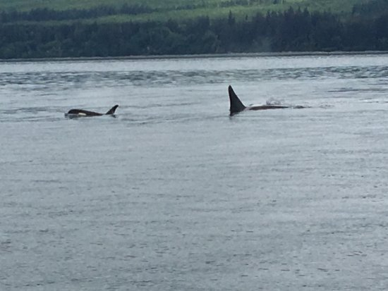 Eagle Wing Whale Watching Tours: Baby Orca and mother