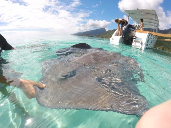 Moorea, Polinesia Francesa: Sting rays up close and personal!