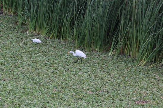 Egrets at Bubali Bird Sanctuarym, Palm Beach, Aruba
