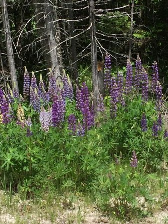 Canaan, VT: Wild Lupines on the side of the road. The tiger swallowtails were all over the place.