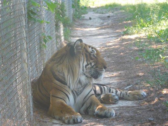 Moseley, VA: tiger