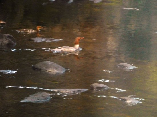 Peterborough, Nueva Hampshire: Merganser family on the Nubanusit - view from the table...