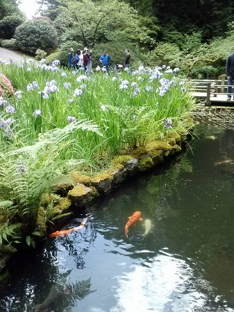 Japanese maple picture of portland japanese garden for Portland japanese garden koi