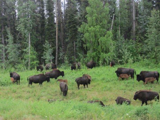 Muncho Lake Provincial Park: Bison