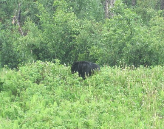 Muncho Lake Provincial Park: Black Bear