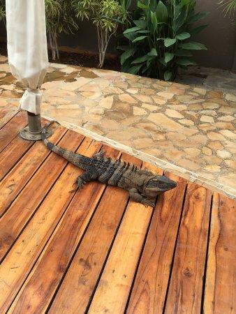 Hotel Arco Iris: Our iguana friend!