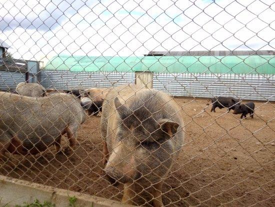 Perm Krai, Russland: Так свинок я не видел в природе