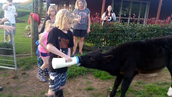 Kauri Lodge: Guests feeding our calf