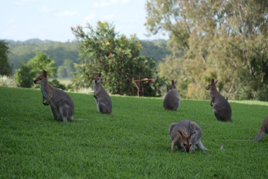 Imbil, Australia: Family of Grazing Wallabies in Front Yard