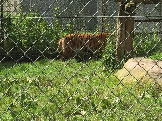 Zoo du Bois d'Attilly: TIGRE