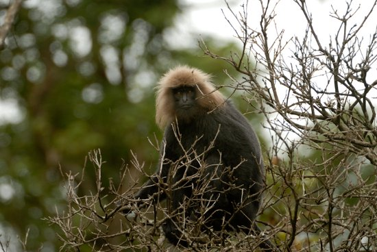 Thekkady, India: Lion-tailed Macaque - Periyar WIldlife Reserve