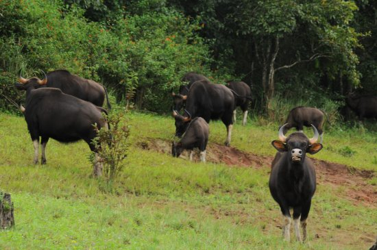 Thekkady, India: Bisons - Periyar Wildlife Reserve