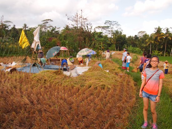 Agus Bali Private Tours: An educational walk in the rice padi filed.