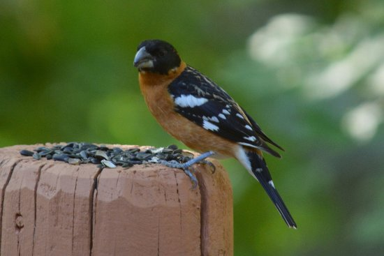 Run of the River: One of the beautiful birds that visited ... black-headed grosbeak