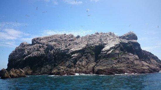 Les Etacs gannet colony Alderney