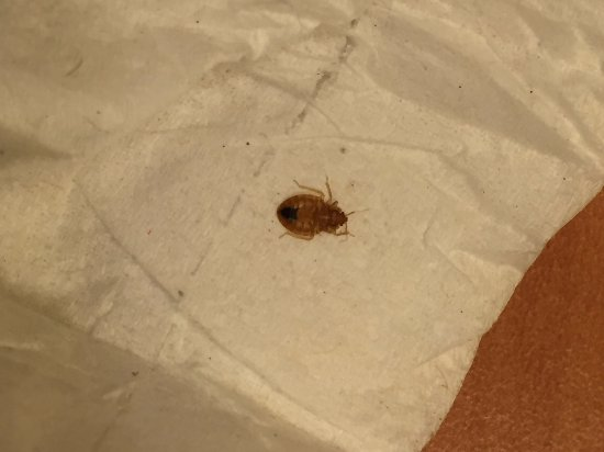 Days Inn - Vancouver Airport: Live Bed Bug on Mattress