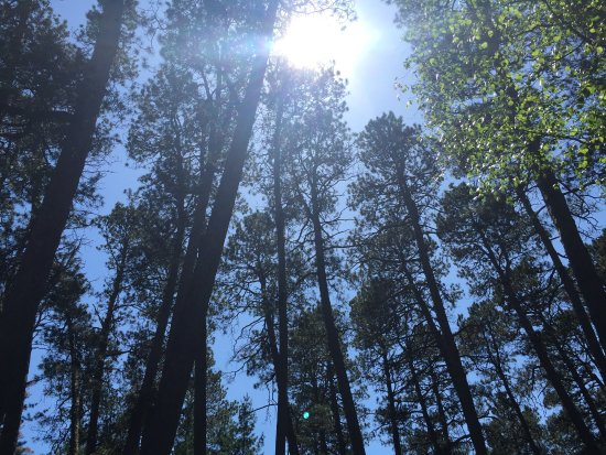 Preacher's Grove : Canopy of Red Pine trees