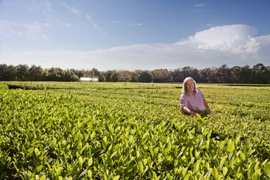 America's only tea plantation in Charleston, South Carolina