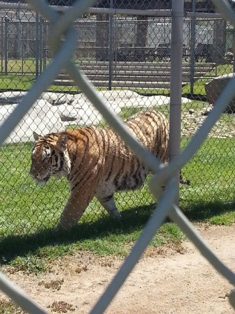 pacing picture of lions tigers bears alpine tripadvisor