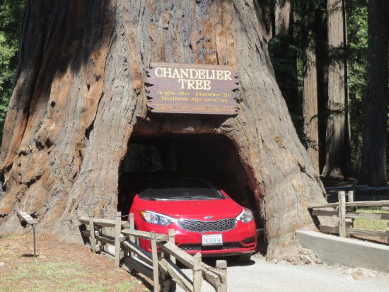 Chandelier drive through tree picture of chandelier drive through chandelier drive through tree chandelier drive through tree mozeypictures Image collections