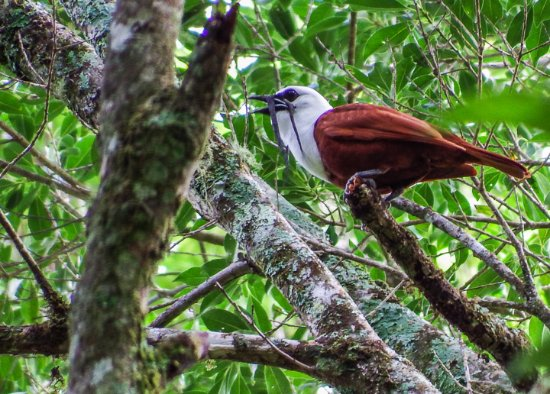 San Vito, Costa Rica: Three-wattled Bellbird, male.