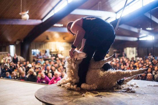 Ngongotaha, Nieuw-Zeeland: One of our famous sheep shearers on stage