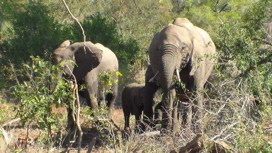 Elephants grazing near Satara Rest Camp