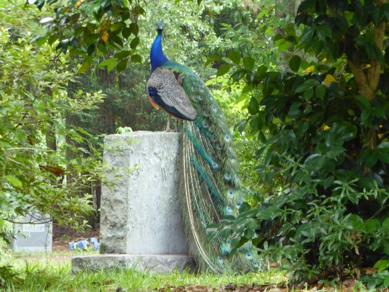 Peacock on Stone - Picture of Wilmington Oakdale Cemetery