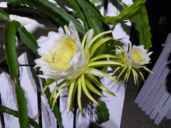 Cades Bay, Antigua: Night-blooming cactus at the foot of our stairs