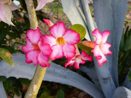 Cades Bay, Antigua: Desert Rose, just one of the beautiful plants filling every inch of grounds!