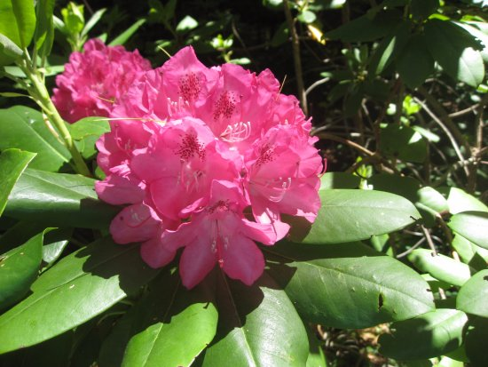 Milton, Kanada: the Rhododendrons are gorgeous!!